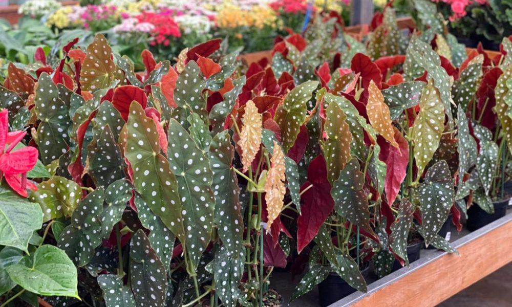 Begônia Maculata: a famosa planta é tendência em decoração de interiores